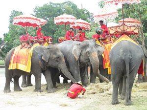 resting elephants awaiting rides in ayutthaya